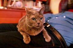 Blaue russische Katze, die seiend gestreichelt sich entspannt, liegt und genießt, zu Hause verwöhnend und auf seinem Schossinhabe lizenzfreie stockfotografie