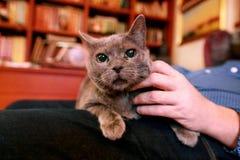 Blaue russische Katze, die seiend gestreichelt sich entspannt, liegt und genießt, zu Hause verwöhnend und auf seinem Schossinhabe lizenzfreie stockbilder