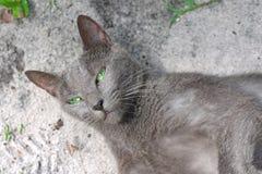 Blaue russische Katzenaugen des grünen Auges Stockfotos