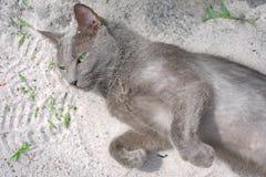 Blaue russische Katzenaugen des grünen Auges Stockfotografie