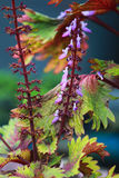 Blaue Salvia-Blume Stockfoto