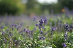 Blaue Salvia-Blume Lizenzfreie Stockfotos