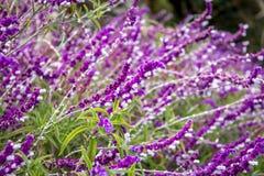 Blaue salvia Purpurblumen Stockfotos