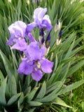 Blaue schöne Gladioleblumennahaufnahme Lizenzfreie Stockbilder