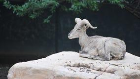 blaue Schafe Stockbild