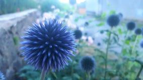 Blaue scharfe Blume Stockbilder