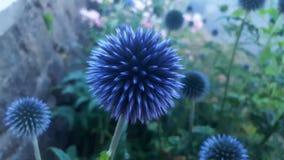 Blaue scharfe Blume Stockfotos