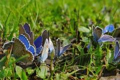 Blaue Schmetterlinge 2 Stockbild