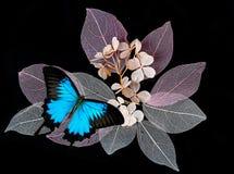 Blaue Schmetterlinge auf darkbackground Stockbilder