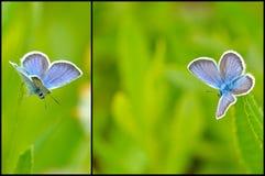 Blaue Schmetterlingscollage Lizenzfreie Stockbilder
