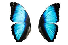 blaue Schmetterlingsflügel mit Weiß Getrennt auf weißem Hintergrund Stockbilder
