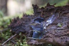 Blaue Schnecke auf dem Baum Stockbild