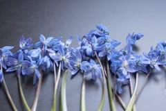 Blaue Schneeglöckchenblumen aus den dunklen Grund Lizenzfreie Stockfotos