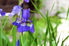Blaue sibirische Irisblumennahaufnahme Lizenzfreie Stockfotografie