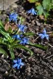 Blaue snowdrops Lizenzfreies Stockfoto
