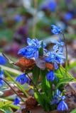 Blaue snowdrops Erste Frühlingsblumen Stockfoto