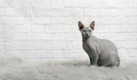 Blaue sphynx Katze sitzen auf einer Pelzdecke und betrachten die Kamera lizenzfreie stockfotografie