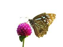 Blaue Tigerbasisrecheneinheit auf Blume Lizenzfreie Stockfotografie