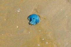 Blaue Tranquallen, angeschwemmt im Sand der niederländischen Küste lizenzfreies stockfoto
