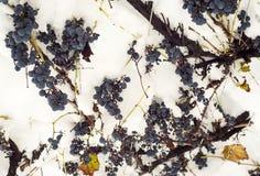 Blaue Traube unter dem Schnee Stockfotos