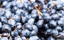 Blaue Trauben Stockbild
