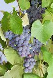 Blaue Trauben auf einer Rebe auf der Weinbergnahaufnahme Lizenzfreie Stockfotos