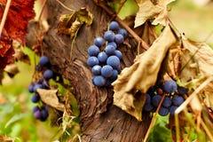 Blaue Trauben auf einer Rebe, Nahaufnahme Lizenzfreies Stockbild