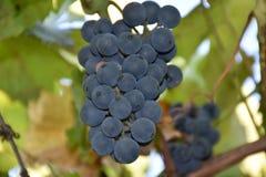 Blaue Trauben, Trauben, Beere, Körner, geschmackvoll, Lebensmittel, Vitamine, Natur, Hintergrund, Anlagen, Frucht, Weiß, Grün, Sc lizenzfreie stockfotos