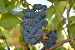 Blaue Trauben, Trauben, Beere, Körner, geschmackvoll, Lebensmittel, Vitamine, Natur, Hintergrund, Anlagen, Frucht, Weiß, Grün, Sc stockfotografie