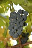 Blaue Trauben, Trauben, Beere, Körner, geschmackvoll, Lebensmittel, Vitamine, Natur, Hintergrund, Anlagen, Frucht, Weiß, Grün, Sc lizenzfreies stockfoto