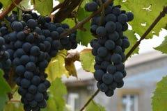 Blaue Trauben, Trauben, Beere, Körner, geschmackvoll, Lebensmittel, Vitamine, Natur, Hintergrund, Anlagen, Frucht, Weiß, Grün, Sc lizenzfreies stockbild