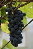 Blaue Trauben, Trauben, Beere, Körner, geschmackvoll, Lebensmittel, Vitamine, Natur, Hintergrund, Anlagen, Frucht, Weiß, Grün, Sc stockfoto