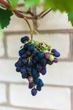 Blaue Trauben im Garten Stockfoto