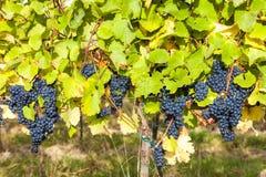 Blaue Trauben im Weinberg Stockfotografie
