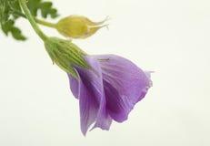 Blaue tropische Hibiscus-Knospe Lizenzfreie Stockfotografie
