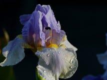 Blaue u. weiße Iris mit Regentropfen Lizenzfreie Stockbilder