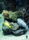 Blaue und gelbe Fische Stockfotografie