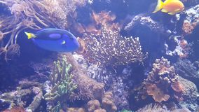 Blaue und gelbe Fische Lizenzfreies Stockfoto