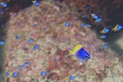 Blaue und gelbe Fische auf Riffbunter Unterwasserlandschaft lizenzfreie stockfotos