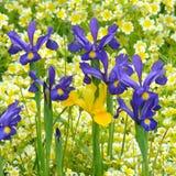 Blaue und gelbe Iris Lizenzfreie Stockfotos