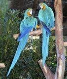 Blaue und gelbe Macawpaare, die in der Liebe kämpfen lizenzfreies stockfoto