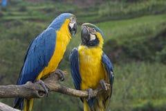 Blaue und gelbe Macaws Stockbild