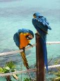 Blaue und gelbe Papageien Stockfotos