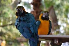 Blaue und gelbe Papageien auf einer Stange Stockfoto
