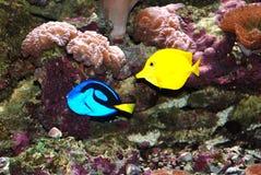 Blaue und gelbe tropische Fische. Stockfoto