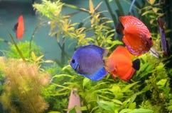 Blaue und orange Discusfische Lizenzfreie Stockfotos