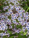 Blaue und purpurrote Blumen Lizenzfreies Stockfoto