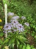 Blaue und purpurrote Blumen Stockfoto