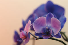 Blaue und purpurrote Orchideen Stockfotografie