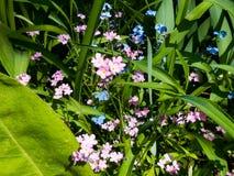 Blaue und rosa Blume des frischen Gartens der Vergissmeinnichte Stockfotografie